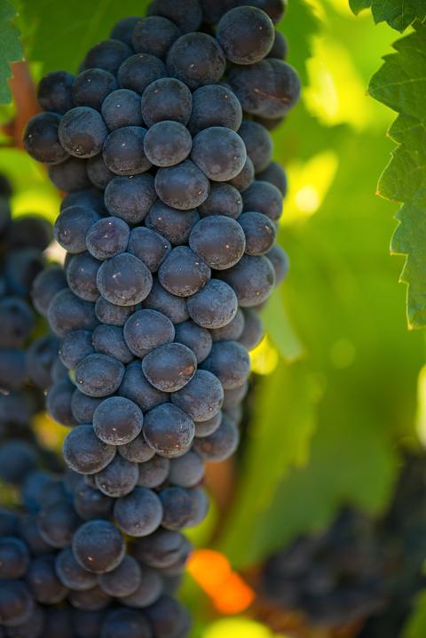 grapes 21 blog